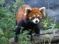 Vörös pandát Pécsnek!