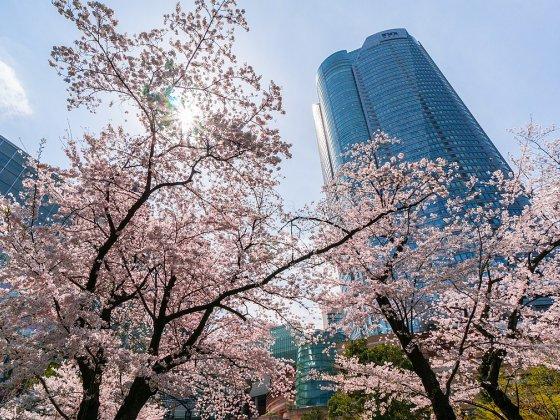 Cseresznyevirágzás Tokióban